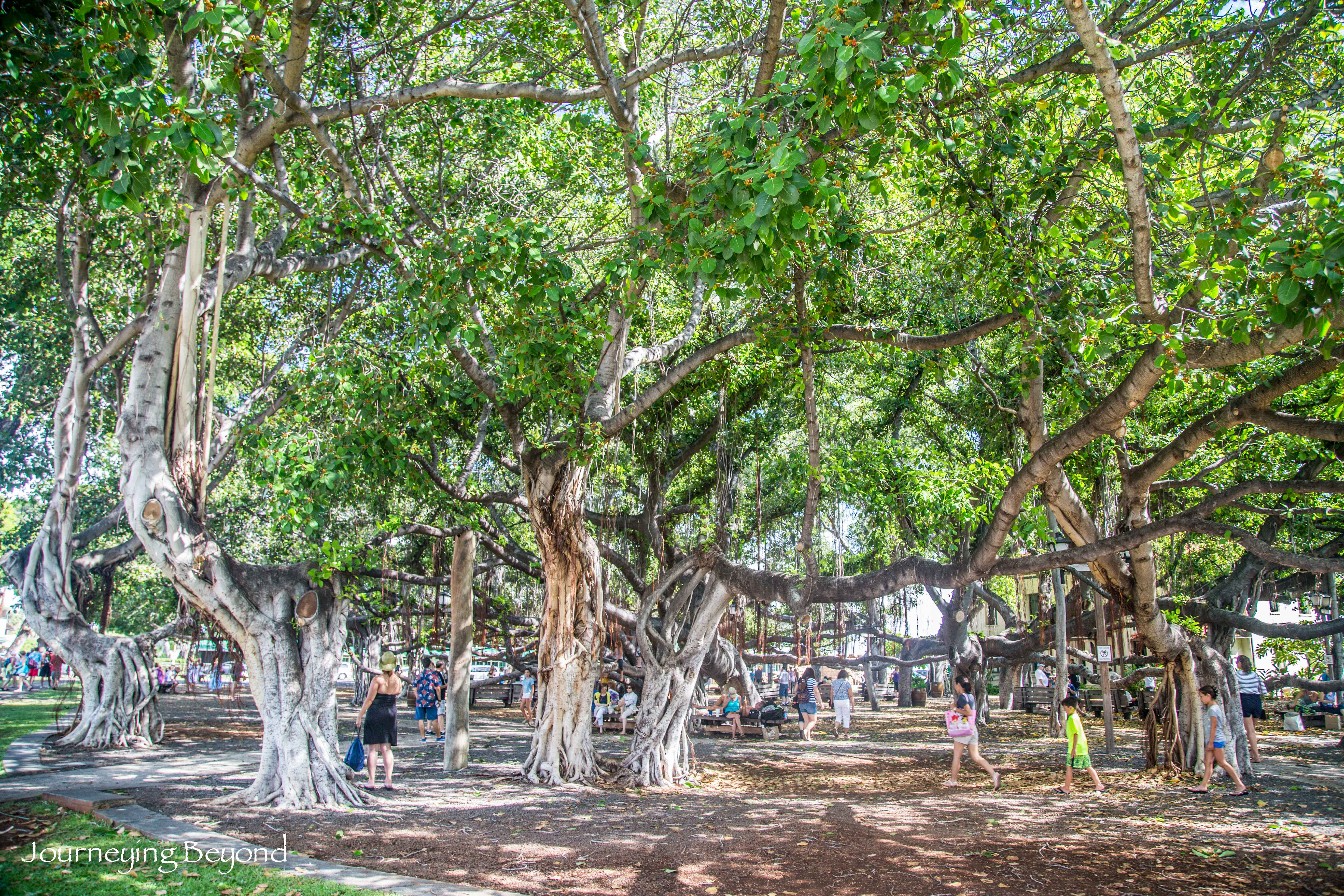banyan tree essay A banyan, also spelled banian, is a fig that begins its life as an epiphyte, i e a plant that grows on another plant, when its seed germinates in a crack or crevice of a host tree or edifice.